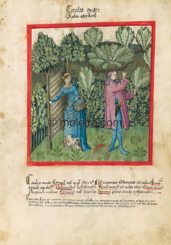 f. 20r, Kohl. Cabbage. Nature: hot in the first degree and dry in the second. Optimum: fresh and green. Benefit: they open up ob...