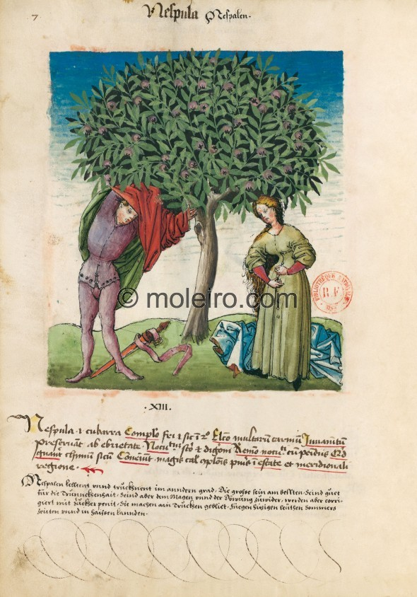 f. 7v, Mispeln. Medlars, i.e. cubarras. Nature: cold and dry in the second degree. Optimum: very fleshy. Benefit: prevent drunke...
