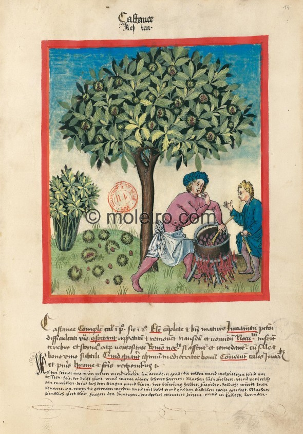 f. 14r, Chestnuts. Chestnuts. Nature: hot in the first degree, dry in the second. Optimum: whole and very ripe. Benefit: for the...