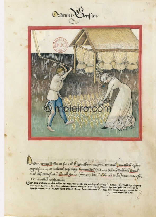 f. 42r, Barley. Barley. Nature: cold and dry in the second degree. Optimum: white, large and fresh. Benefit: it strengthens expu...