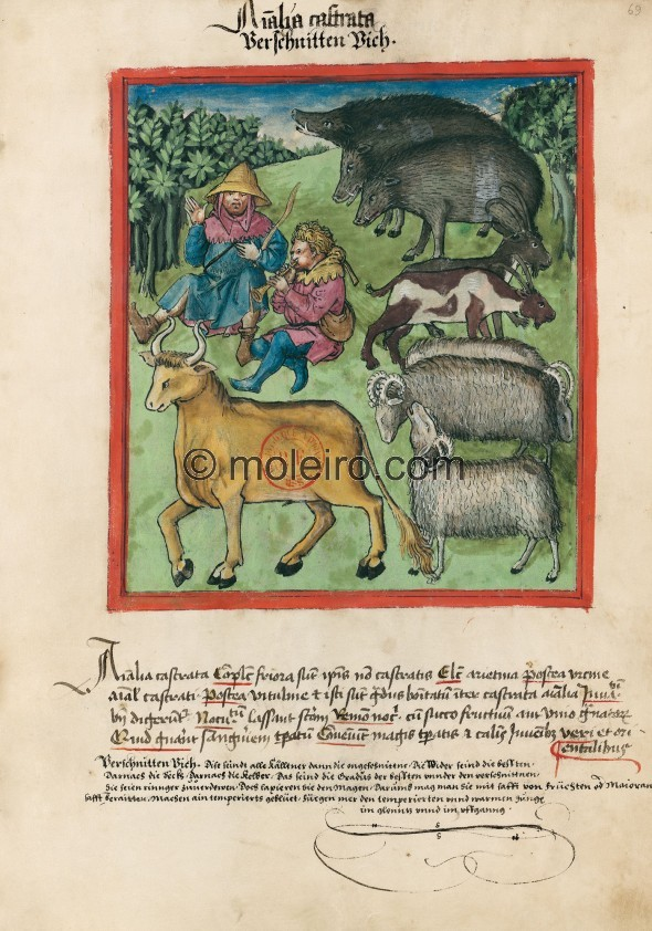 f. 69r, Verschnittene Tiere. Castrated animals. Nature: colder than non-castrated animals. Optimum: rams, then the one-year-old,...