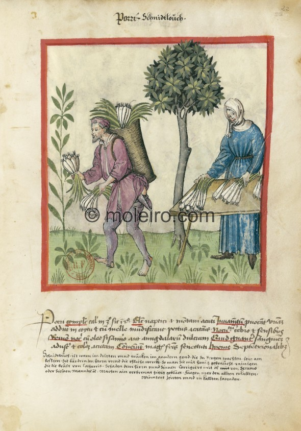 f. 22r, Leeks. Leeks. Nature: hot in the third degree, dry in the second. Optimum: wild, i.e. from the mountain, long. Benefit: ...