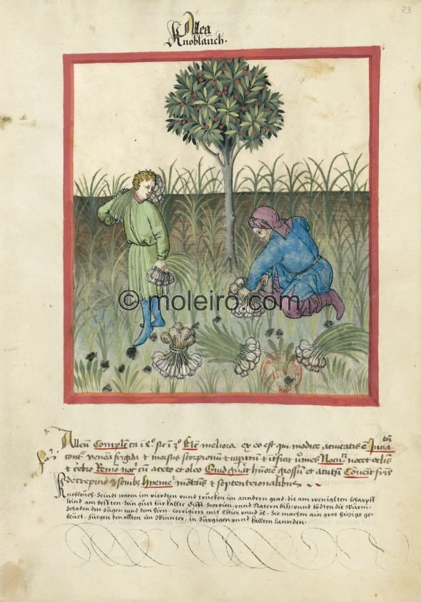 f. 23r, Garlic. Garlic. Nature: hot in the fourth degree, dry in the third. Optimum: the best of this type is moderately juicy. ...