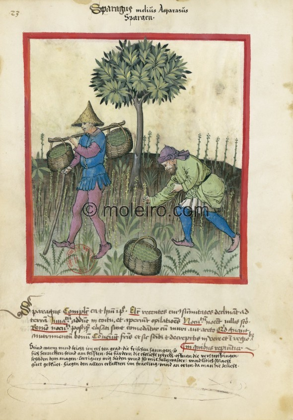 f. 23v, Spargel. Asparagus. Nature: hot and wet in the first degree. Optimum: fresh and with the tip towards the earth. Benefit:...
