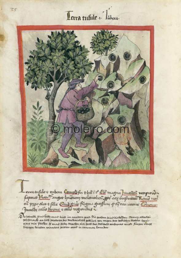 f. 25v, Trüffel. Truffles, i.e. tubera. Nature: cold and wet in the second degree. Optimum: large. Benefit: absorb all flav...