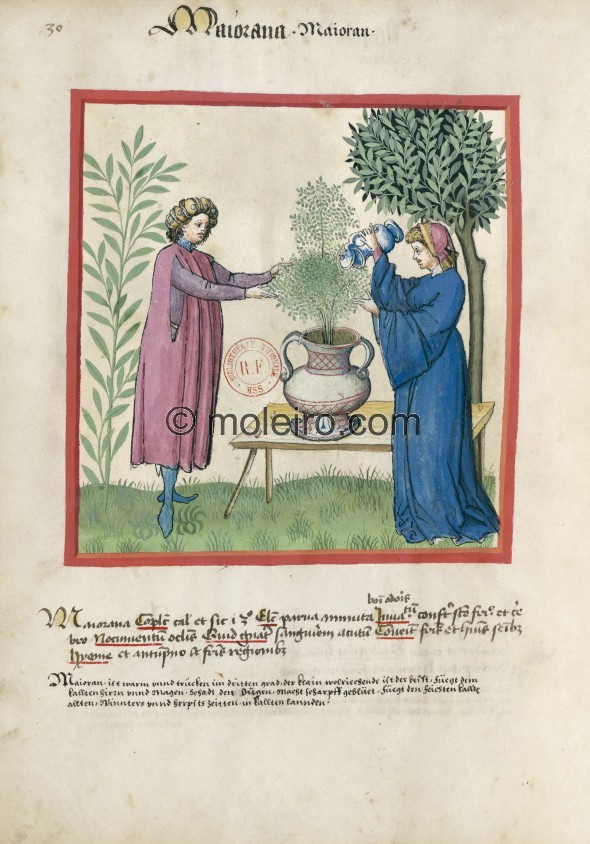 f. 30v, Majoran. Marjoram. Nature: hot and dry in the third degree. Optimum: small, tiny, sweetly scented. Benefit: useful for t...