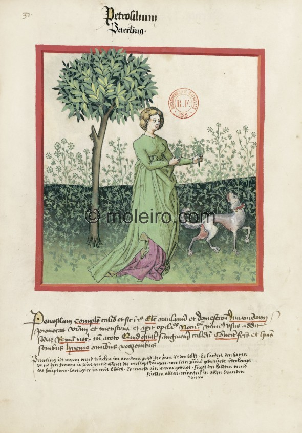 f. 31v, Petersilie. Parsley. Nature: hot and dry in the second degree. Optimum: from the vegetable garden and cultivated. Benefi...
