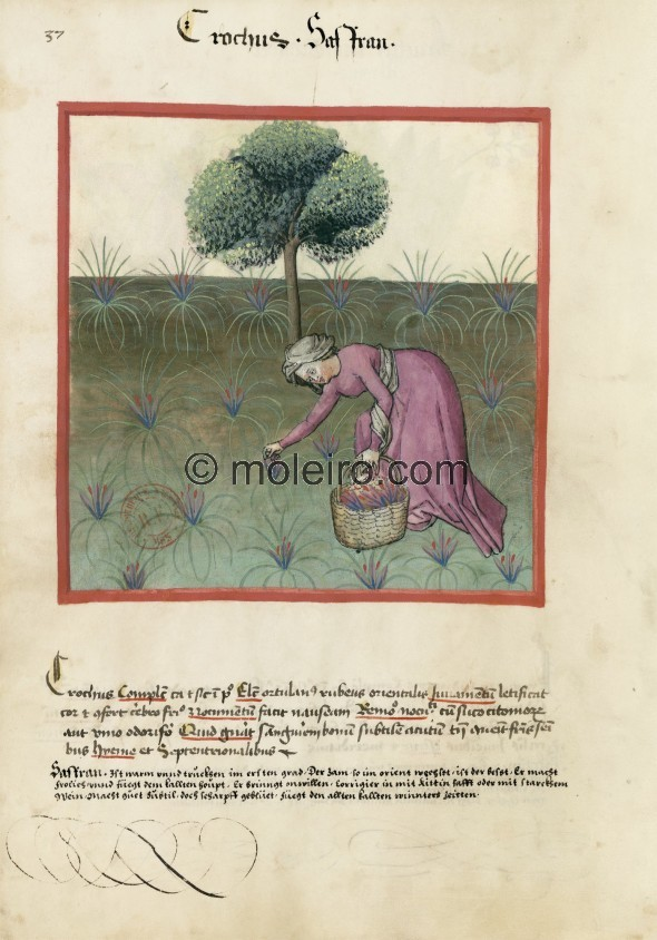 f. 37v, Saffron. Saffron. Nature: hot and dry in the first degree. Optimum: from the vegetable garden, red, oriental. Benefit: i...